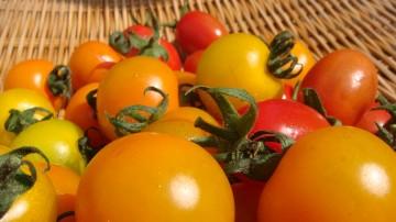 内海さんちのトマト